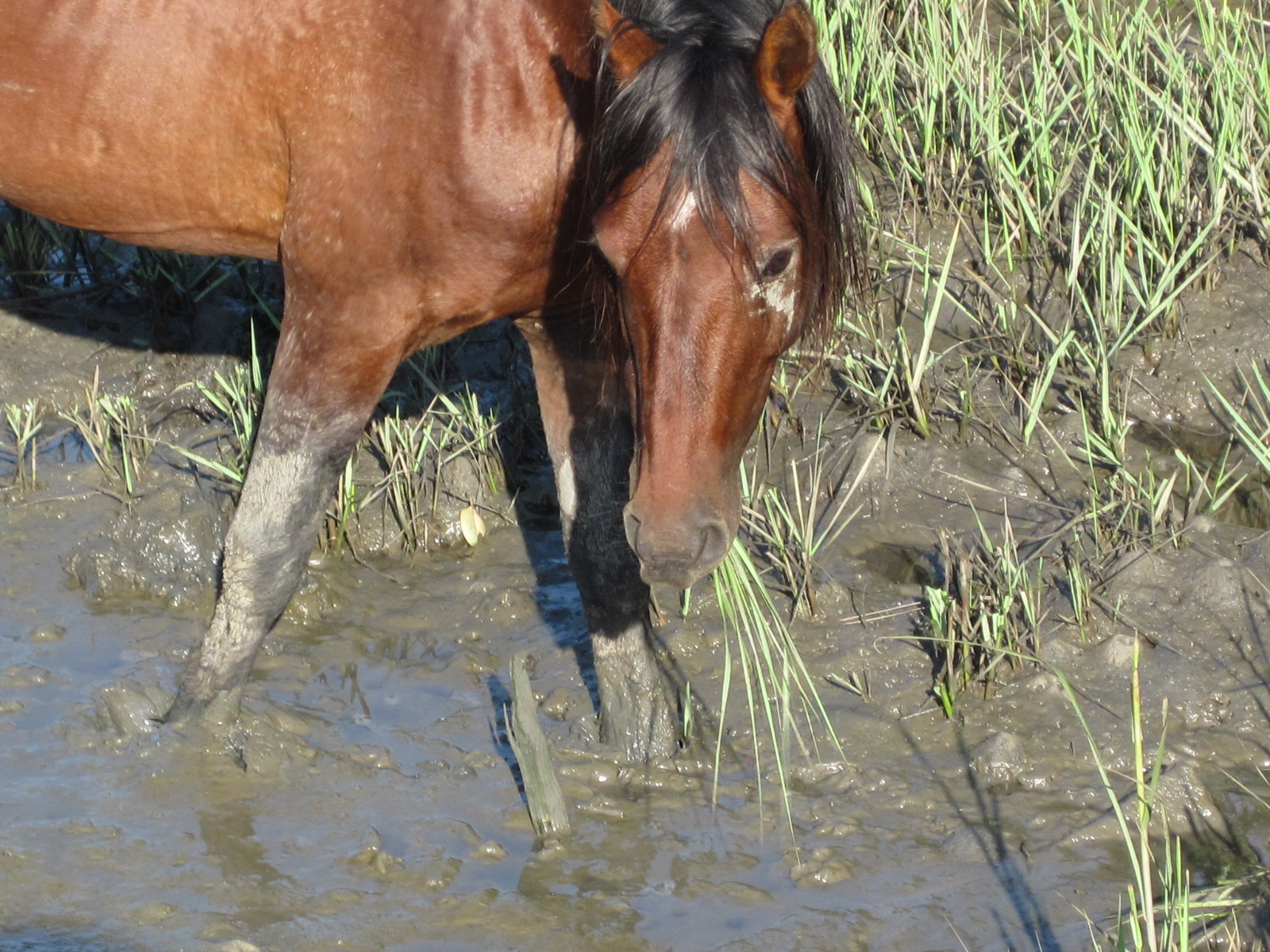 Grazing in the salt marsh.