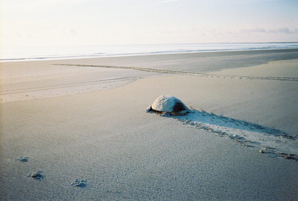 MUST WATCH: A Turtle Crawl on Cumberland